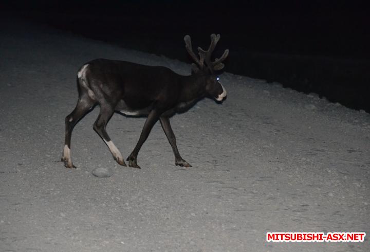 вот такой бонус на обратном пути,ночной олень опасное животное  - Снимок41.PNG